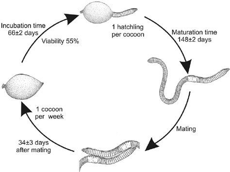 earthworm cycle diagram earthworms cycle www pixshark images