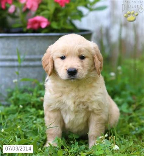 golden retrievers for sale illinois 1000 ideas about golden retrievers for sale on golden retrievers golden