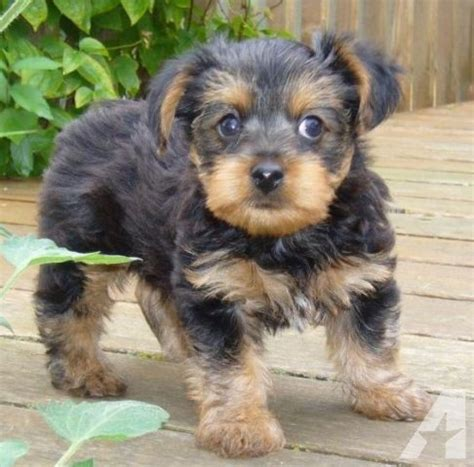 yorkie malta 2 lovely yorkie puppies for sale now offer malta 300
