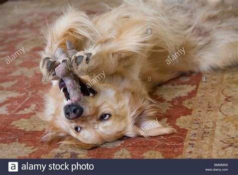 golden retriever teeth golden retriever rolling on its back and bearing teeth stockfoto lizenzfreies