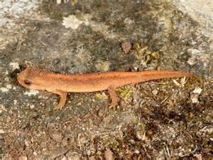 Caterpillar Pests In The Garden - british amphibians palmate newt wildlife insight
