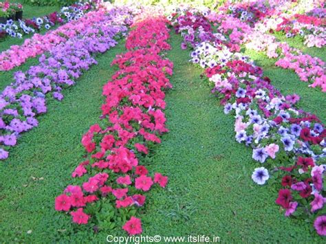 Petunia Garden There Are Many Species Of Petunia Like Flowers From Many Gardens