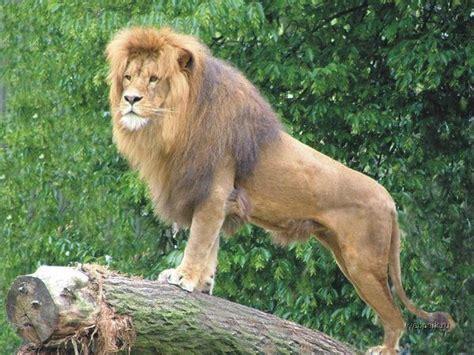 imagenes de leones increibles m 225 s de 25 ideas incre 237 bles sobre tigres beb 233 s en pinterest