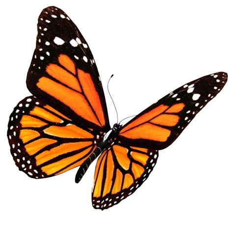 monarch color monarch butterfly clipart transparent background pencil