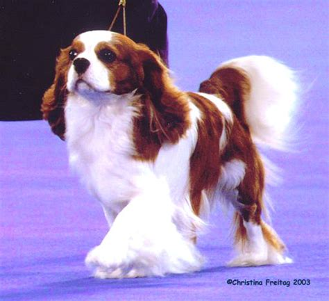 king charles cavalier puppies for sale near me grass cavalier king charles spaniels for sale in indiana buy dogs near me