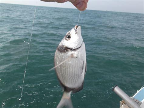 piombatura denti pesca al sarago fasciator