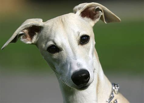 Whippet - Dogs breeds | Pets
