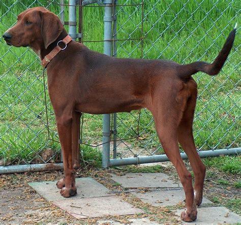 redbone puppies redbone coonhound info temperament puppies pictures