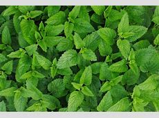 Sweet mint leaves as very nice green natural background ... Mint Leaves Wallpaper
