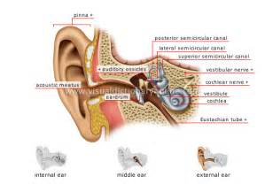 human being sense organs hearing structure of the