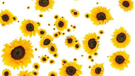 sunflowers background sunflower background images choice image wallpaper and