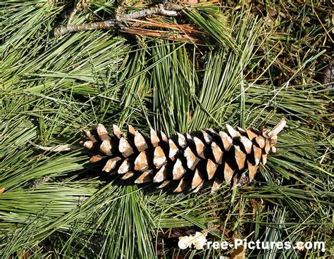 white pine cone pine tree pictures