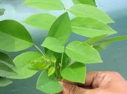 Tanaman Obat Herbal Daun Seribu temukan seribu manfaat dari herbal daun salam herbal indo