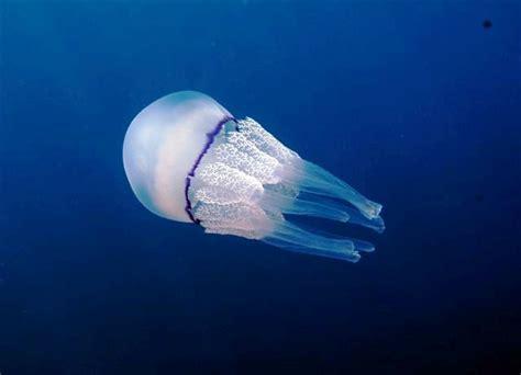 quallen le medusa zoologia wikiwand