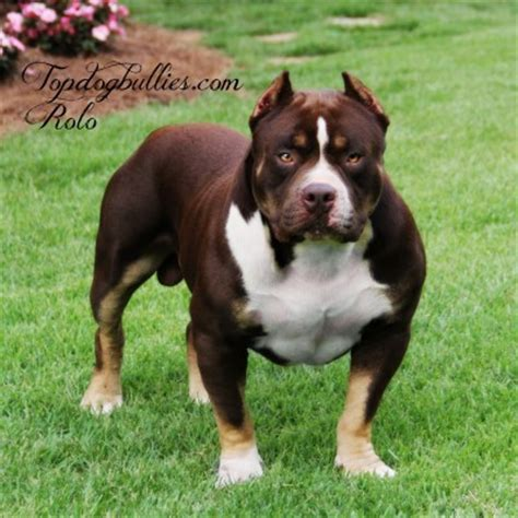 tri color pitbull puppies for sale chocolate tri color pitbull puppies for sale 28 images pin chocolate tri pitbull