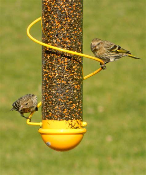 pine siskin on finch feeder bird watching pinterest