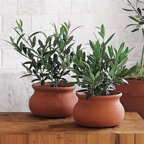 vasi bonsai fai da te ulivo in vaso piante da giardino coltivare ulivi in vaso