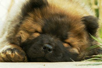 fuzzy chow chow puppy 15 must see chow chow puppies pins chow chow fluffy puppies and fluffy puppies