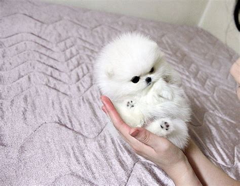 adopt a teacup pomeranian puppies for free adoption adorable pomeranian puppies for free breeds picture