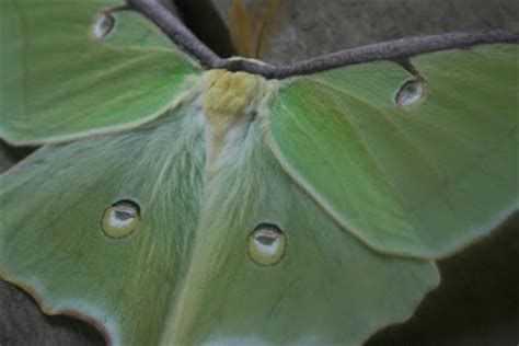 how to keep moths away from front door the 214 ko box lunar moth on my porch