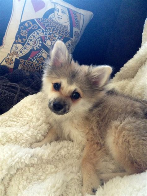 wolf colored pomeranian colored pomeranians breeds picture