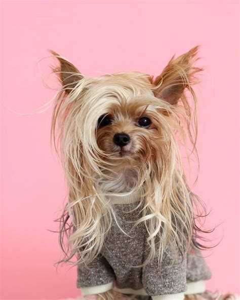 show me a yorkie this stylish yorkie to show different hairstyles pleated