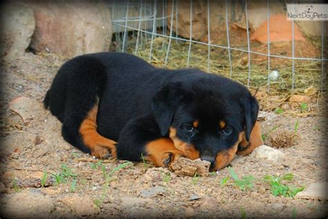 rottweilers for sale near me rottweiler puppy for sale near harrisburg pennsylvania 0d99e8a2 7bf1