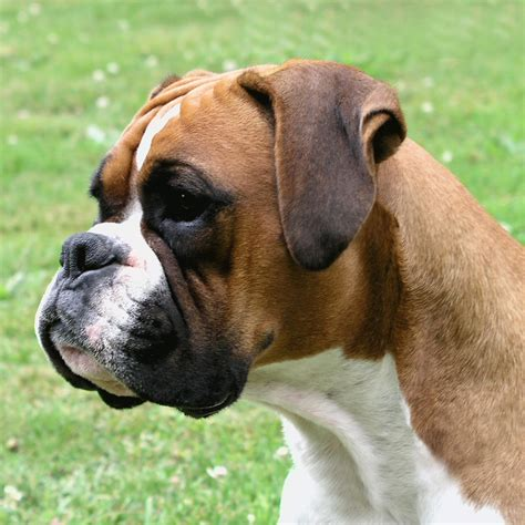 a boxer boxer history personality appearance health and pictures