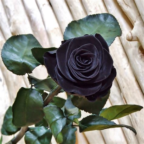 rosas negras imageslist com black flowers part 2
