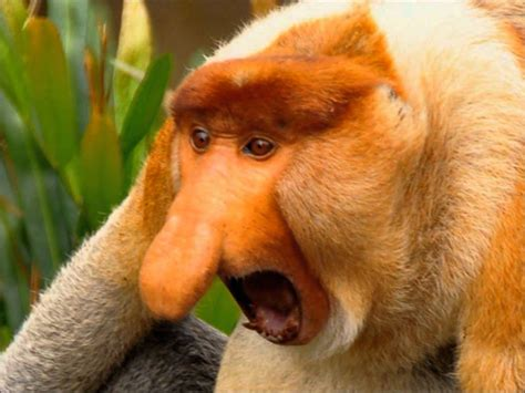 proboscis monkey barking   dog youtube
