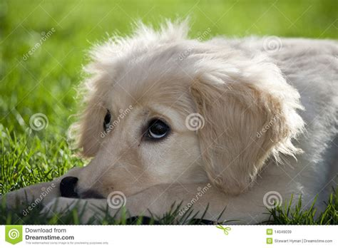 3 4 golden retriever 1 4 poodle labradoodle royalty free stock images image 14049039