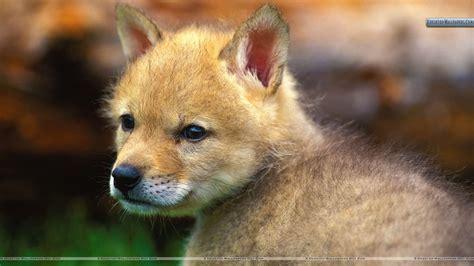 download film dokumenter fauna coyote puppy wallpaper