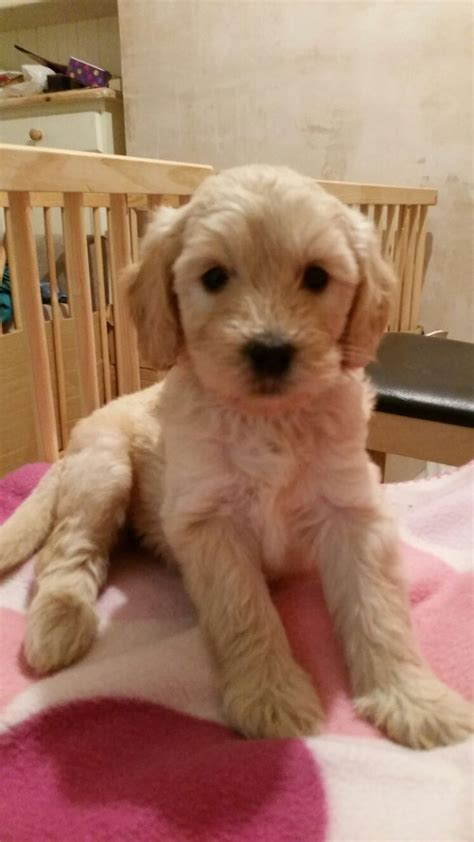 mini doodle puppies colorado miniature golden doodle puppies f1b harlow essex