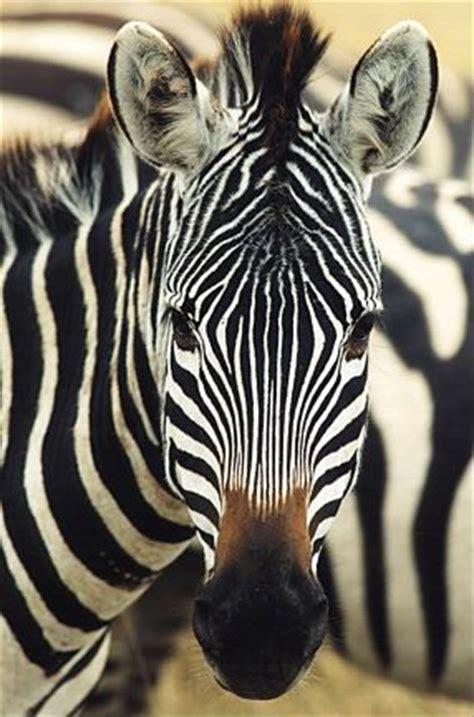 google images zebra zebra face images google search canvas pinterest