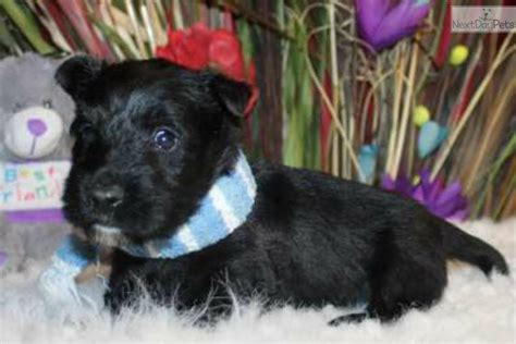 scottish terrier puppies for sale near me scottish terrier puppy for sale near joplin missouri 82ac4b6a f981