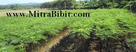 Cari Bibit Sengon cv mitra bibit cara budidaya tanaman albasia