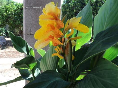 canna indica in vaso le canne da fiore in piante e giardini forum