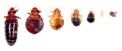 bed bugs pictures stages see pictures of bed bugs they could already be sleeping