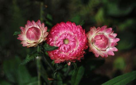fiori di elicriso elicriso fiore di carta viridea