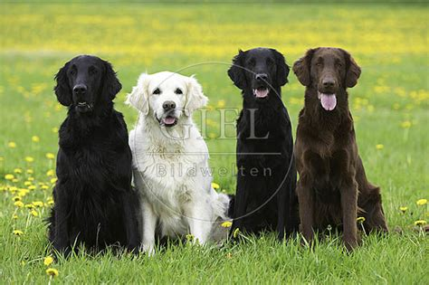 flat golden retriever flat coated und golden retriever oh87 70 tierfotograf
