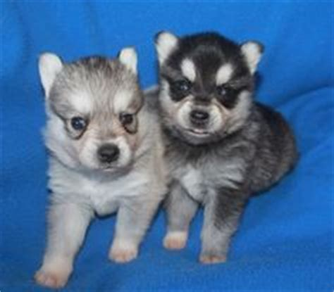 alaskan klee puppies for sale haired applehead chihuahua puppies for sale zoe fans baby animals