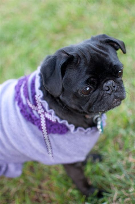 purple pug 96 best images about pugs on and fashionista