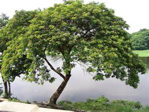 acacia tree at the bank of the pulilan river this is my