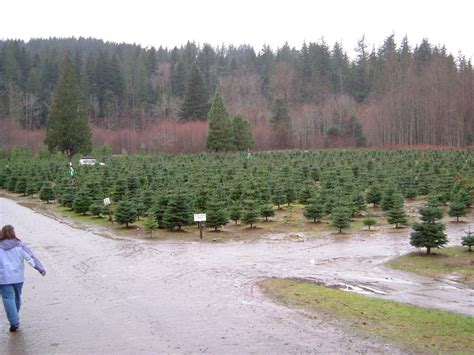 north bend wa christmas tree farm in north bend photo