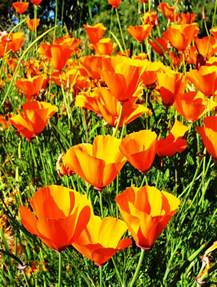california poppy flowers images