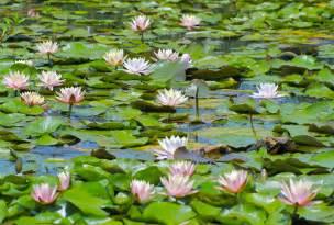 lilypons water garden garden ftempo