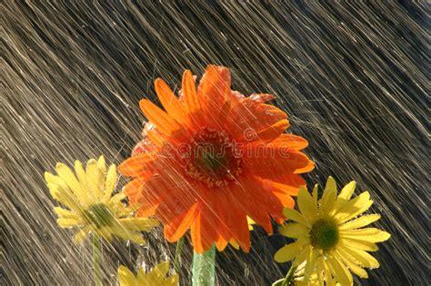 immagini sui fiori pioggia sui fiori fotografia stock immagine di freschezza