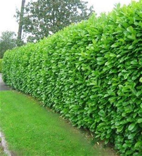 hedging greenshutters garden centre