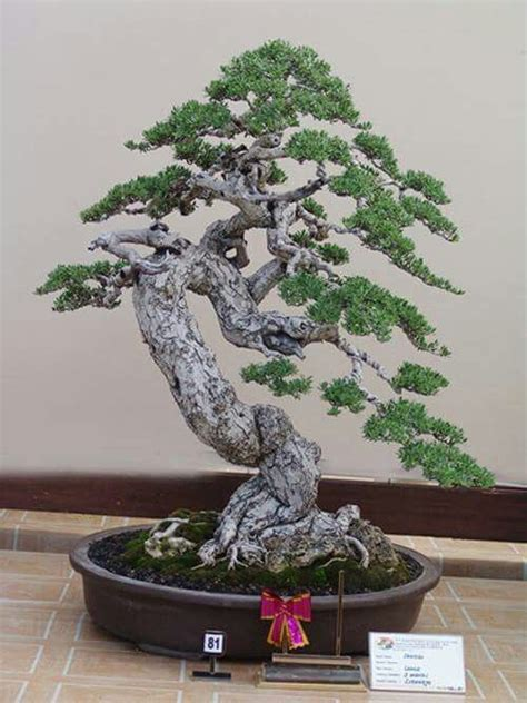 bonsai haus bonsai haus und garten kleine b 228 ume baum