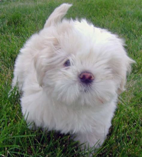 Pictures Of Lhasa Apso Puppies And Dogs